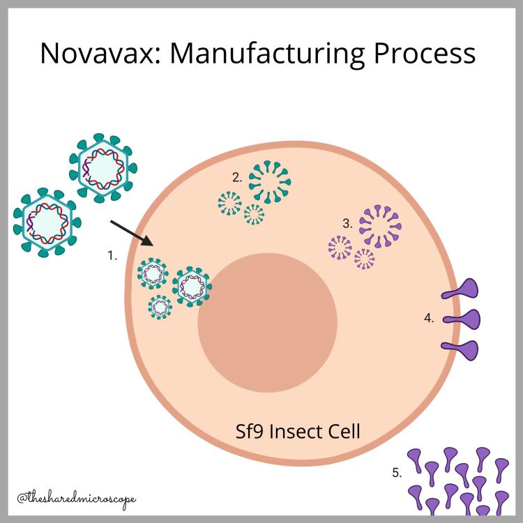 Ilustración de cómo se fabrica la vacuna Novavax