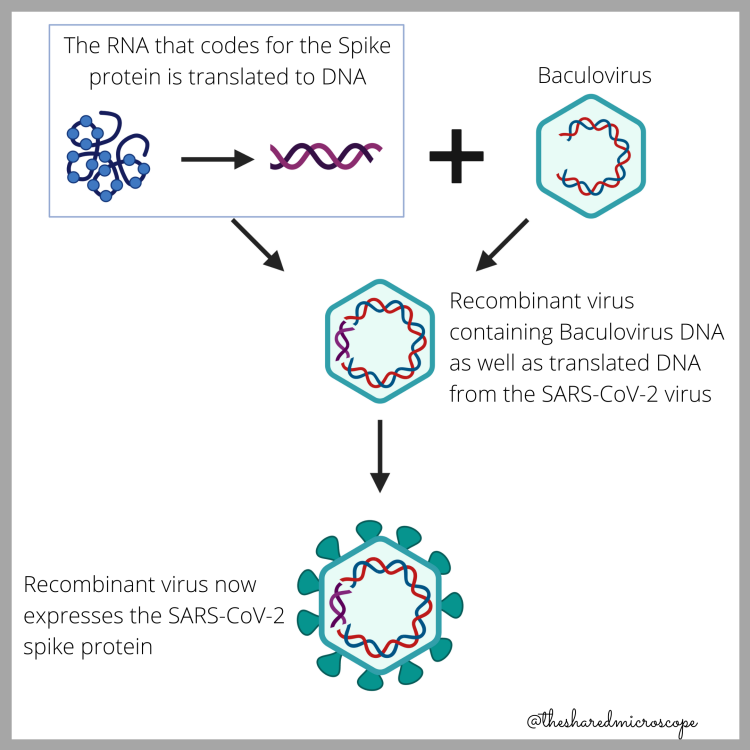 Ilustración de cómo se fabrica las proteína de pico para la vacuna Novavax