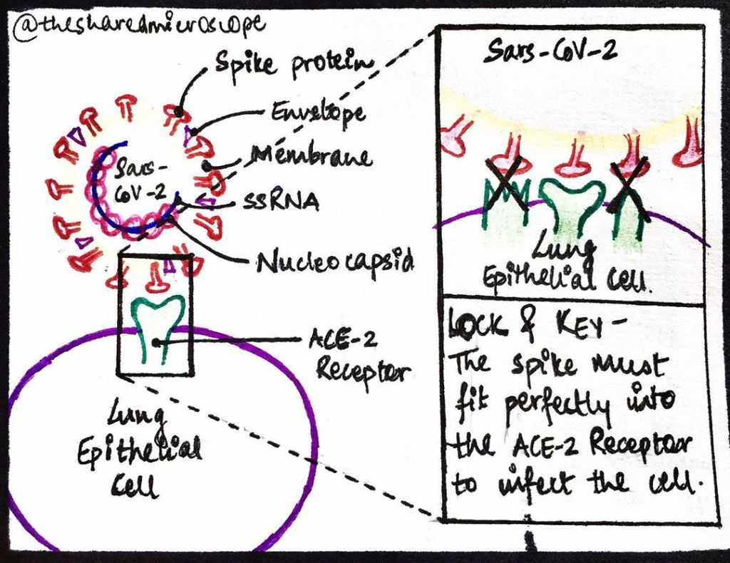 diagram showing how the novel coronavirus enters a cell