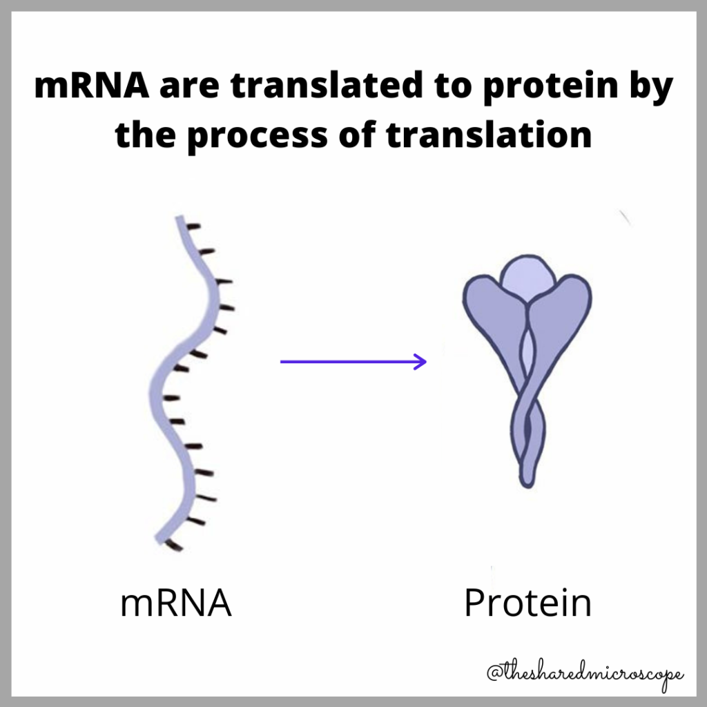 image explaining what is mRNA translation to protein