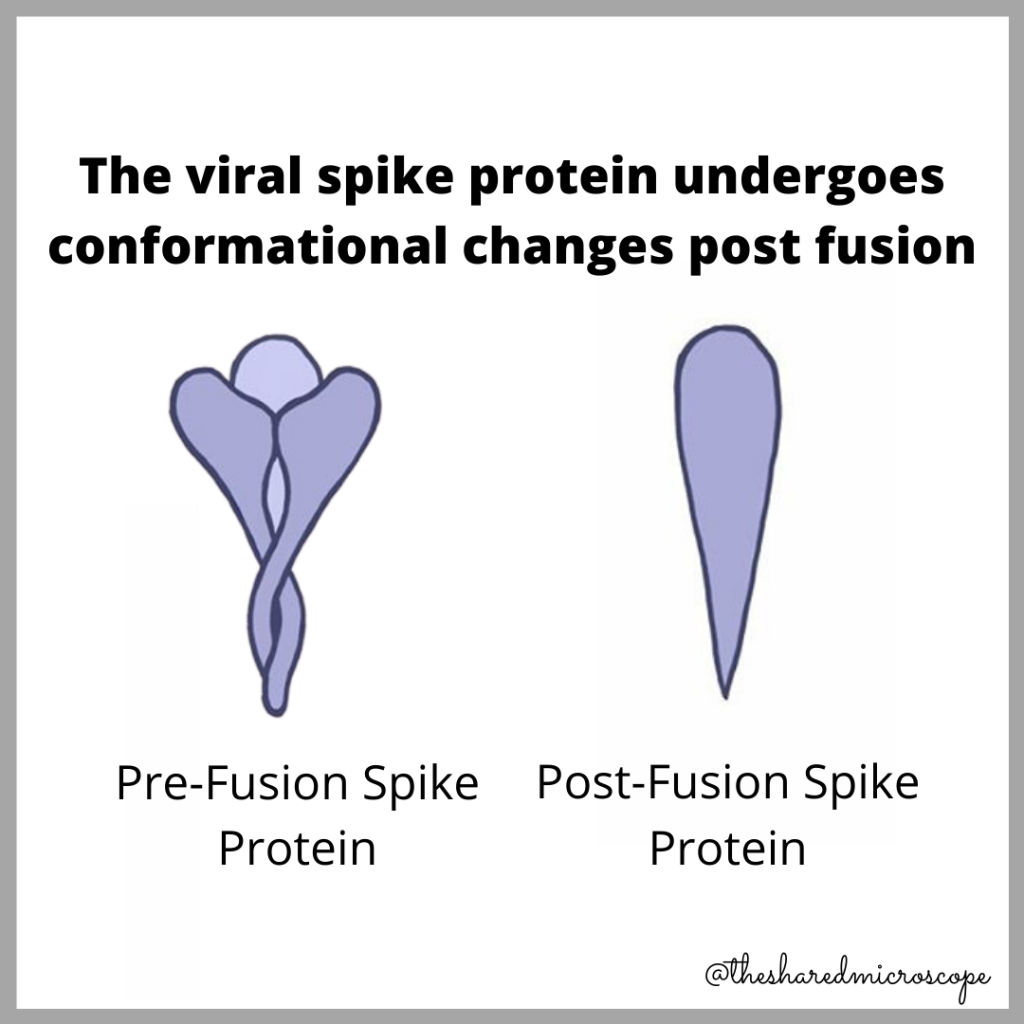 illustration describing conformational changes experienced by the SARS-CoV-2 viral spike protein after fusing to a host (e.g., human) cell