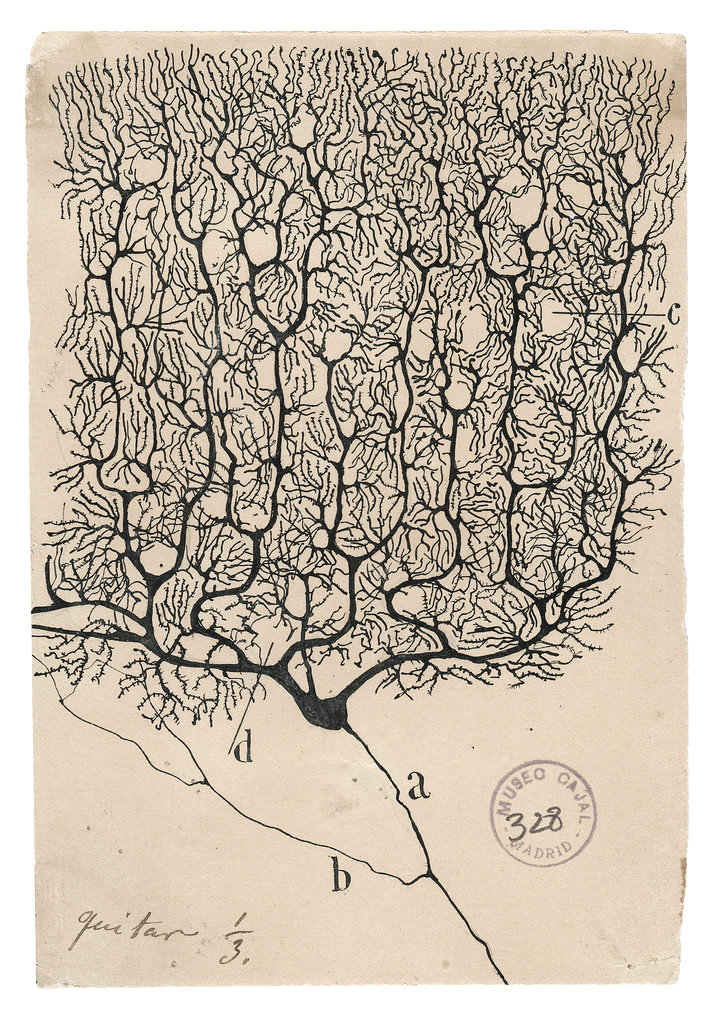 photo of cajal's drawing of a purkinje cell of the cerebellum