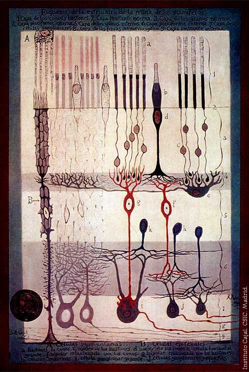 photo of cajal's drawing of the structure of the retina (part of the mammalian eye)