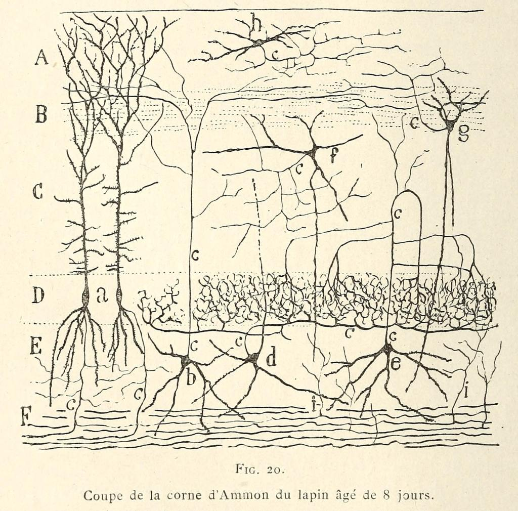 photo of cajal's drawing of cells in the hippocampus of a rabbit