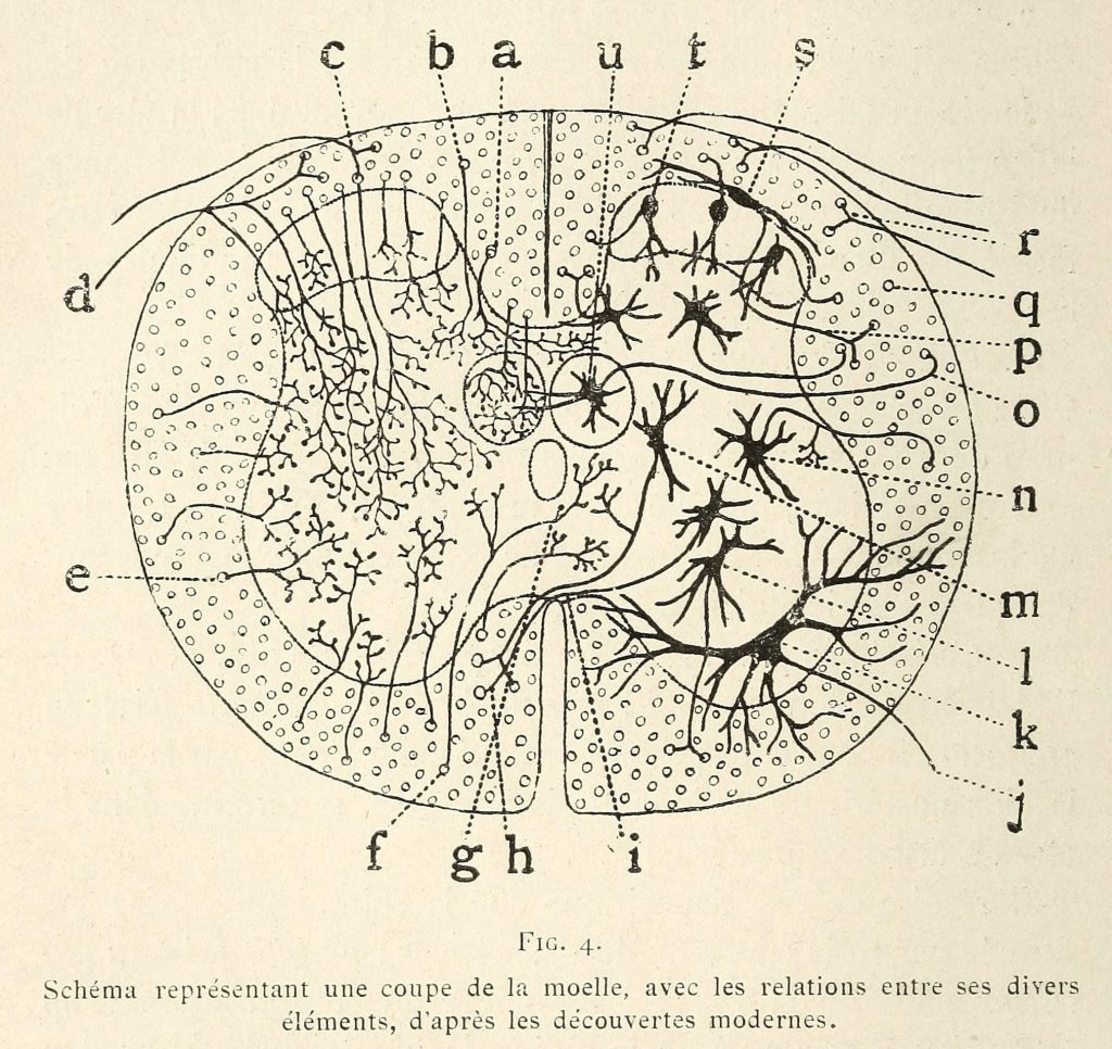 photo of cajal's drawing of a section of spinal cord